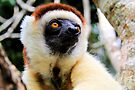 Sifaka by Tom Page