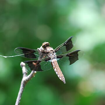 Dragonfly by CjbPhotography