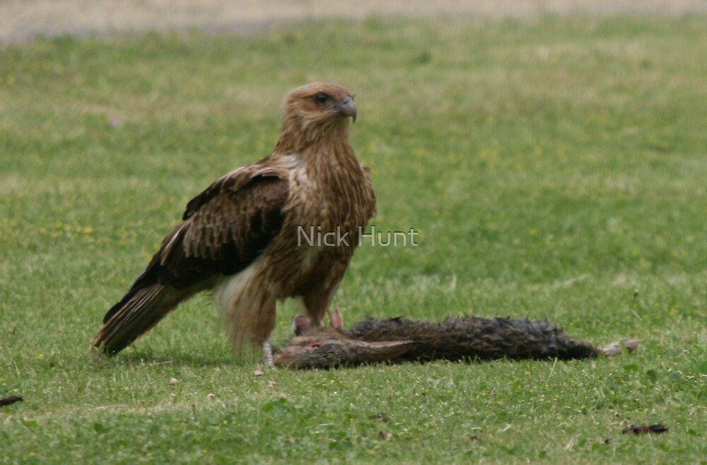 Whistling Kite with rabbit by Nick Hunt