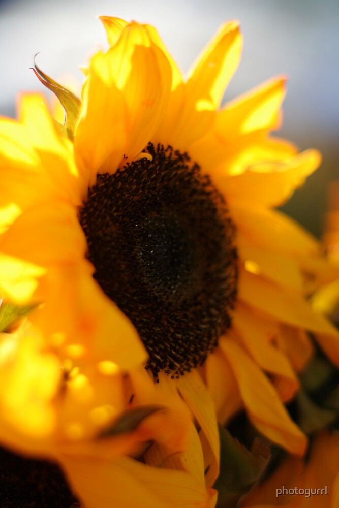 Sunflower by photogurrl