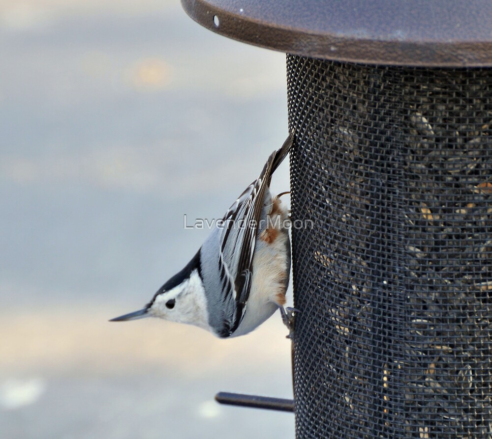 Upside Downer (White-Breasted Nuthatch) by LavenderMoon
