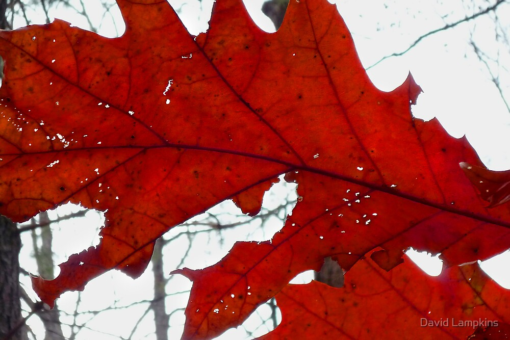 A Red Leaf by David Lampkins