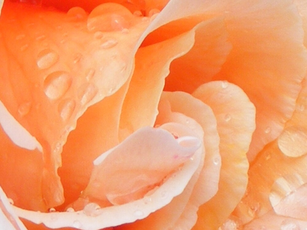 Beautiful roses and raindrops - nature's floral artwork at it's best by gaylene
