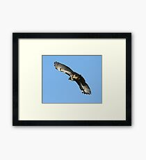 Red Tailed Hawk Majestic Framed Print