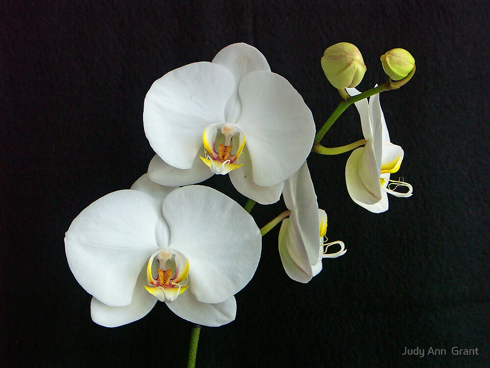 White Orchids  by Judy Ann  Grant