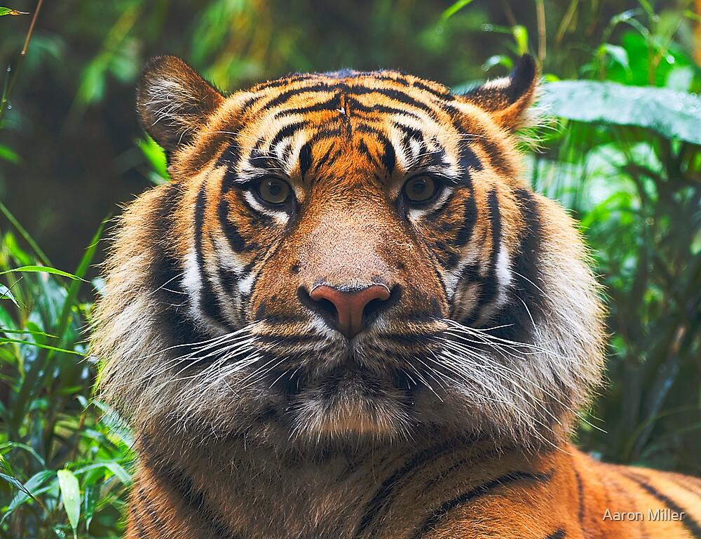 Sumatran Tiger by Aaron Miller
