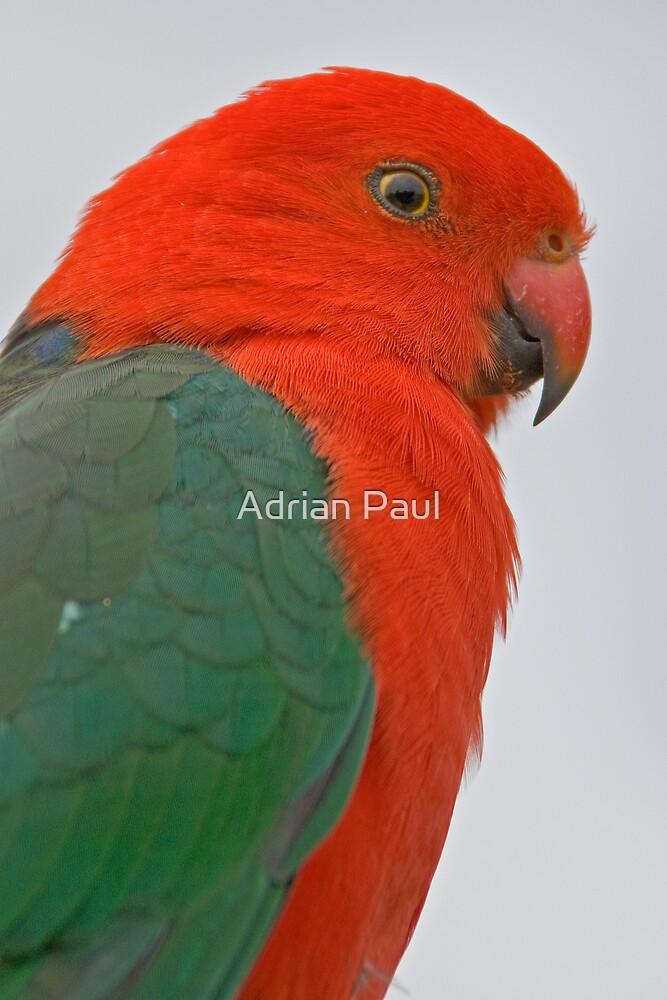 King Parrot, Lamington National Park, Queensland, Australia by Adrian Paul