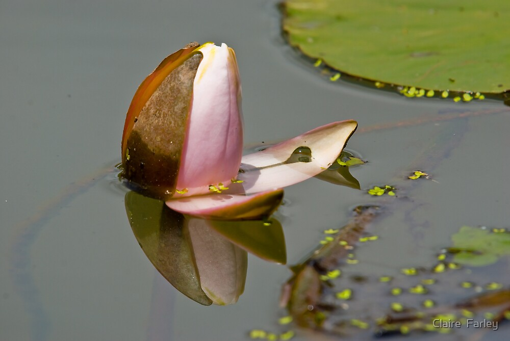 Water Lily Bud by Claire  Farley