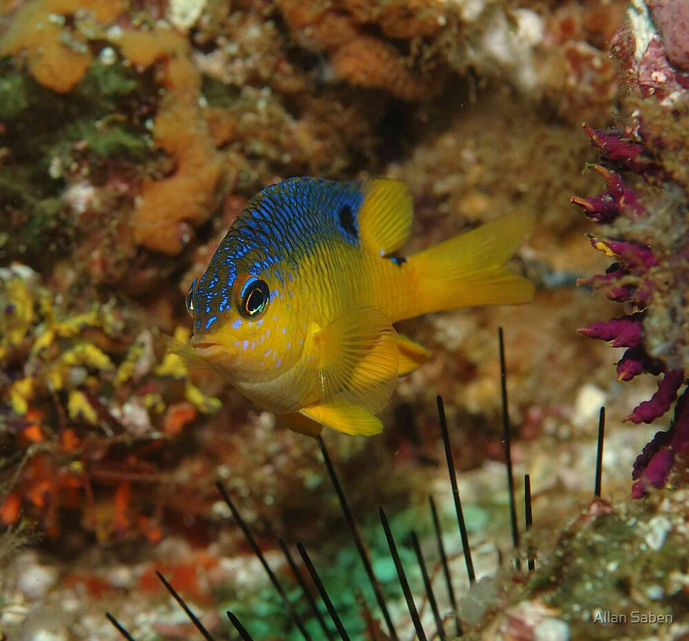 Blue and Yellow by Allan Saben