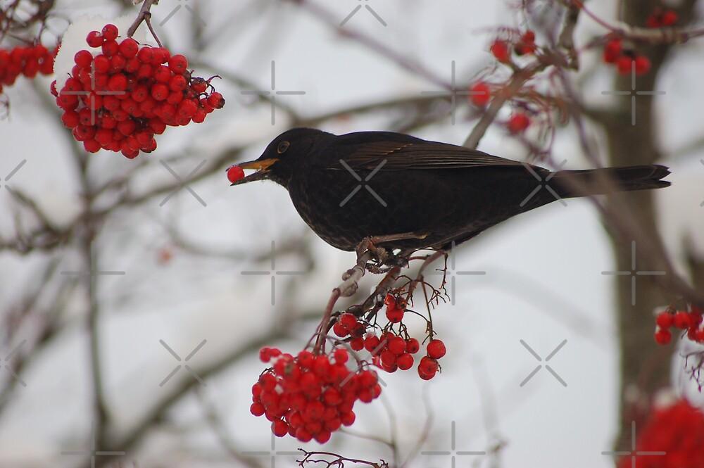 Eating blackbird by loiteke