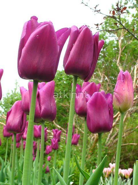 Purple Tulips by atkinnt
