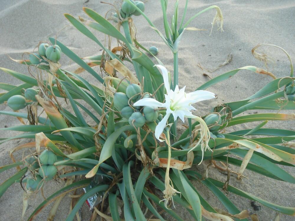 beach lily by Gipi Gopinath