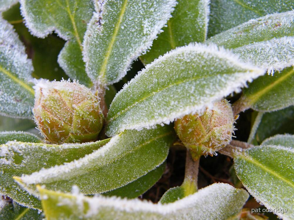 Frosty Rhody by pat oubridge