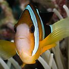Clark's Anemonefish by Ross Gudgeon