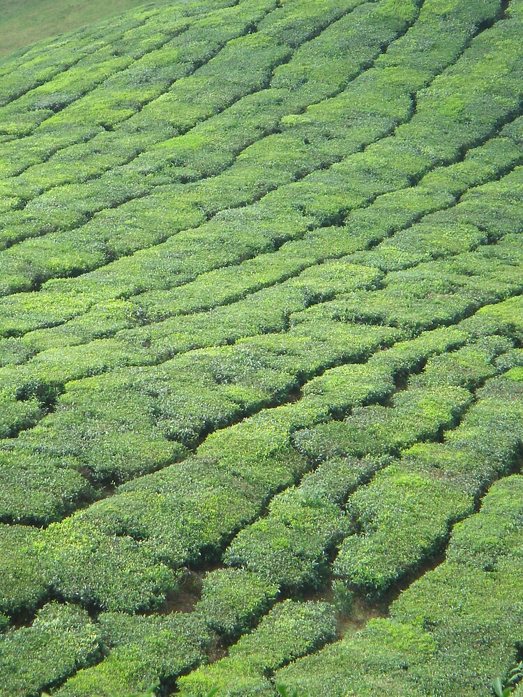 tea plantation by Gipi Gopinath