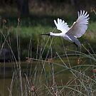 Australian Spoonbill by Nick Sage