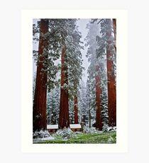 Sequoias in snowfall Art Print