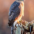 Cooper's Hawk by Jim Stiles