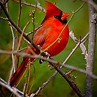 Cardinal by TJ Baccari Photography
