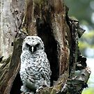 The Owl  by Appel