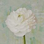 White Ranunculus by Sandra Foster