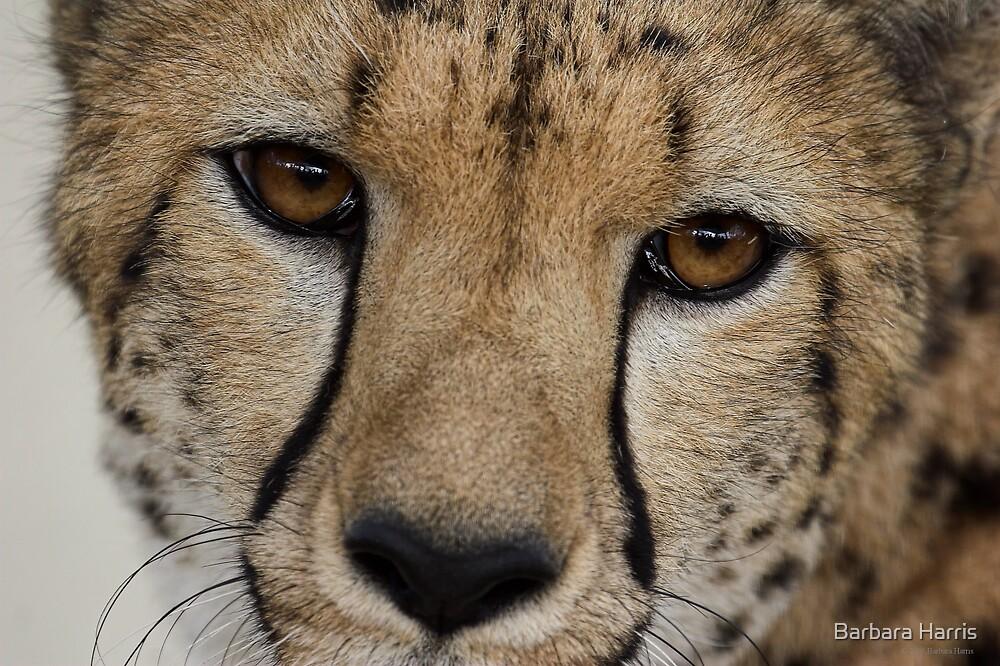 Cheetah Eyes. by Barbara Harris