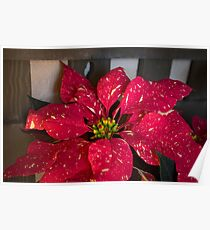 Red and White Poinsettia Poster