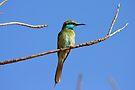 Little Green Bee-Eater by David Clark