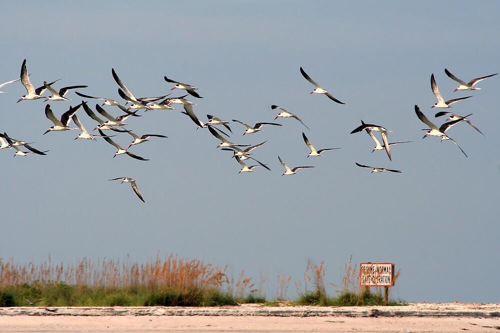 Skimmers In Flight by Karen  Moore