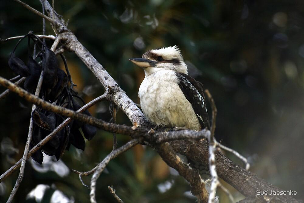 Kookaburra sitting in the old Gum Tree by Sue Jaeschke