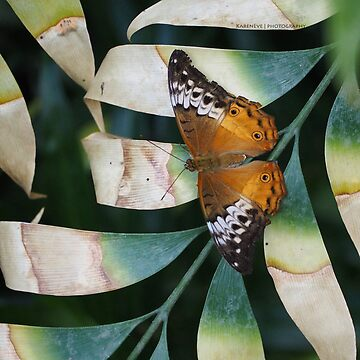 Painted Lady by kaycam