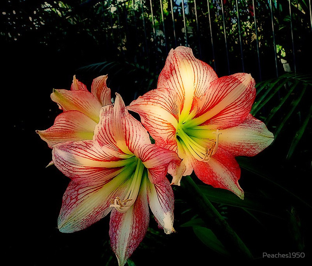 Hippeastrum 'Stripes' by Peaches1950