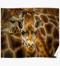 Zoology - Northern Giraffe Poster