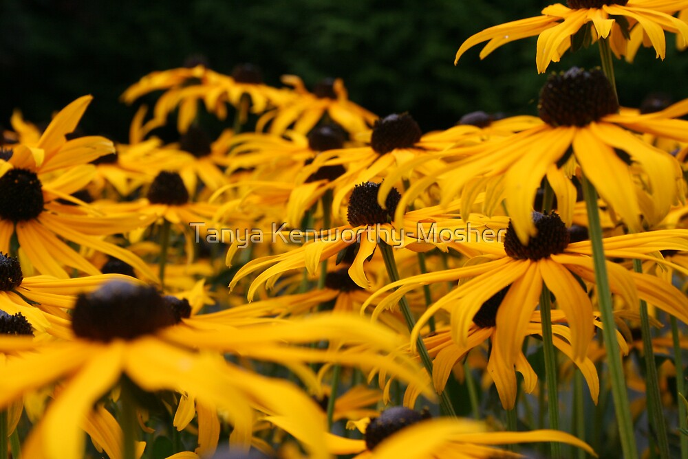 Field of Yellow by Tanya Kenworthy-Mosher