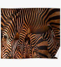 Zoology - Hartmann Mountain Zebra Poster