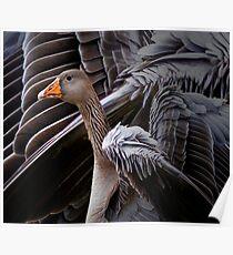 Zoology - Greylag Goose Poster