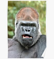 Portrait of a Silverback Poster