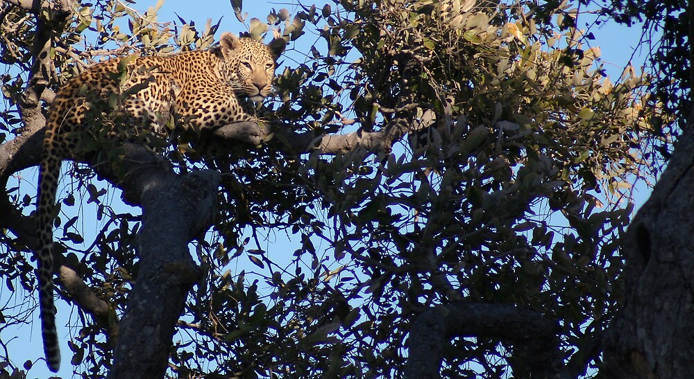 Leopard - Chobe National Park, Botswana, July 2008 by Sarah Doornbusch