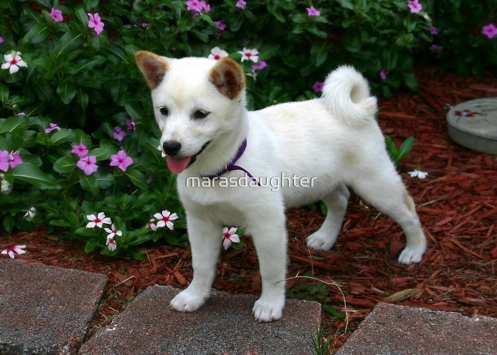 shiba inu cream puppy