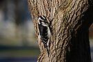Hairy Woodpecker by Lynda   McDonald