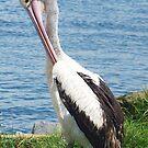 Pelican Preening by Coloursofnature
