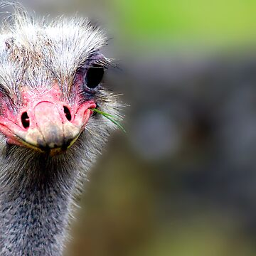 ostrich by dcrrld