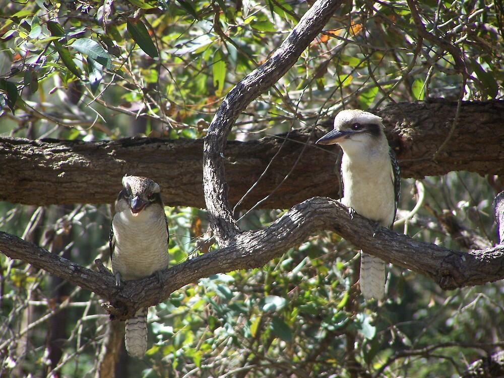 kookaburra's on a branch by kirty