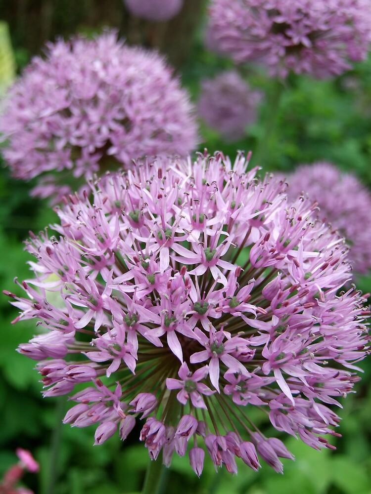 Allium heads (purple flower) by sassygirl