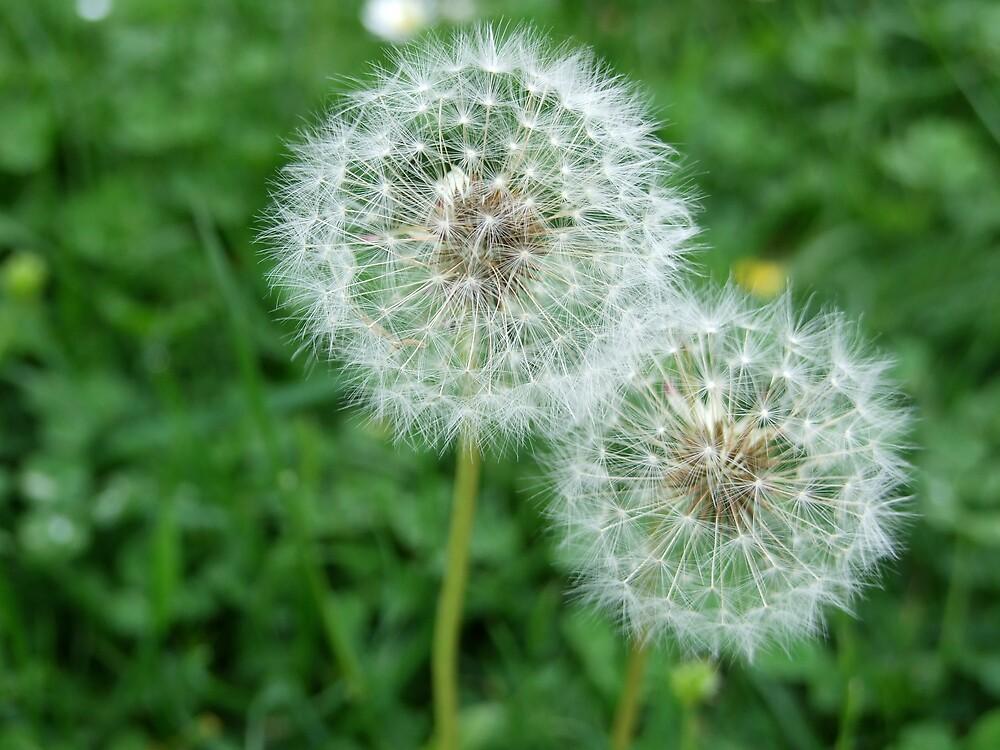 Two dandelion clocks/summer meadow by sassygirl