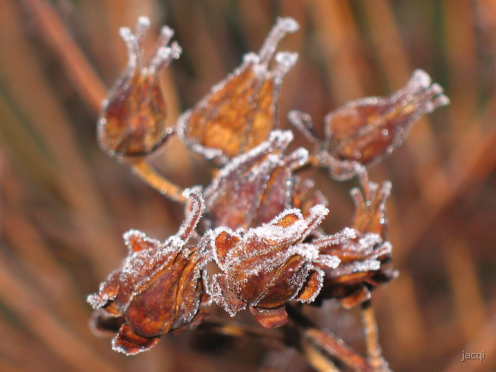 Seedpods in Frost by jacqi