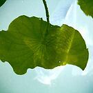 Koi leaf reflection by Kipurespirit
