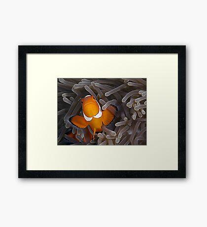 Anemone Fish Framed Print