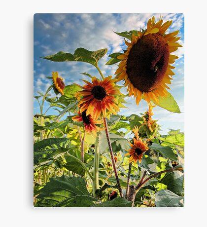 Sunflowers - Morning Sun Canvas Print