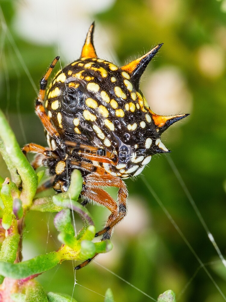 Christmas Spider by Paul Amyes